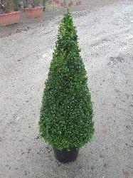 Topiary - Lonicera nitida cone - PB12