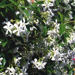 Trachelospermum asiaticum - PB5 / 6.5 (50/60)