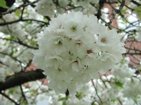 Prunus 'Shirotae'  – PB18 (160/180)