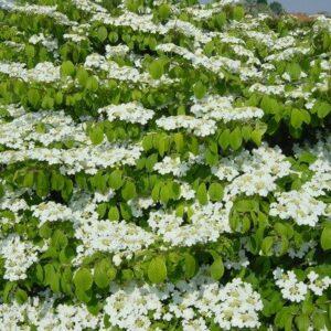 Viburnum plicatum Mariesii - PB6.5 (30/40)