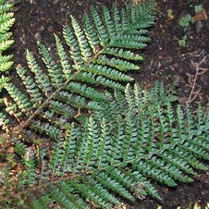 Polystichum proliferum - 2Ltr Pot (15/25)