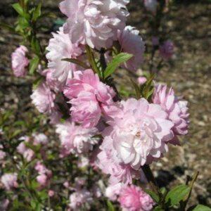 Prunus glandulosa Rosea Plena - PB6.5 (30/40)