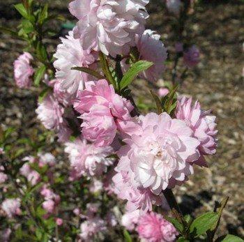 Prunus glandulosa Rosea Plena – PB6.5 (30/40)
