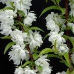 Prunus glandulosa Alba Plena – PB6.5 (30/40)