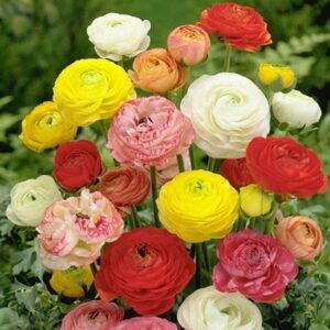 Ranunculus asiaticus - Mixed