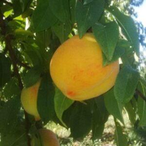 Peach Golden Queen - pb18 (150/270)