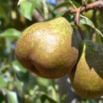 Pear Winter Nelis 500