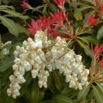 Pieris Forest Flame 501