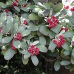 Pittosporum crassifolium - pb5 (70/80)