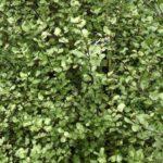 Pittosporum tenuifolium Silver Sheen - pb3/4 (15/25)