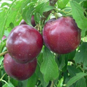 Plum Billington - pb18 (110/200)