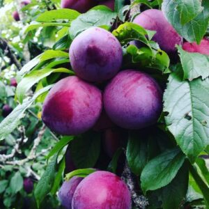 Plum Black Doris - pb18 (150/260)