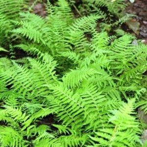 Polystichum braunii - pb5 (10/20)