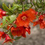 Pomegranate Flower 500