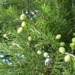 Prumnopitys taxifolia 500