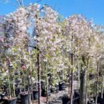 Prunus Falling Snow 500