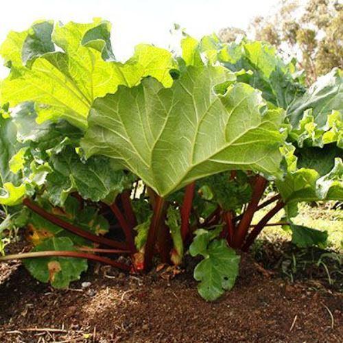Rhubarb Plant 500