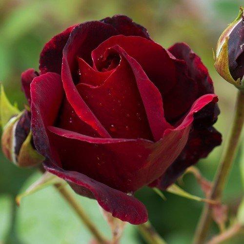 Beauty Rose: Floribunda 'Black Beauty'