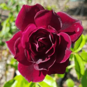 Rose floribunda Burgundy Iceberg (standard)