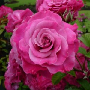 Climber / Rambler Rose - Cherry Kisses