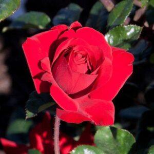 Rose hybrid tea Crimson Bouquet (standard)