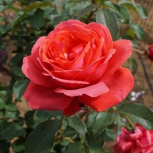 Rose hybrid tea Fragrant Cloud (standard)