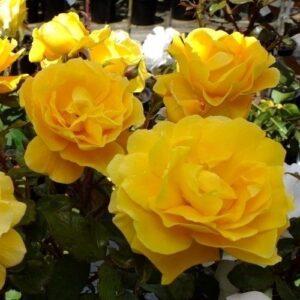 Rose floribunda Gold Dust (standard)