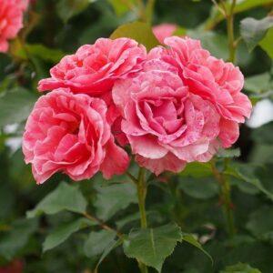 Rose floribunda Kate Sheppard (standard)