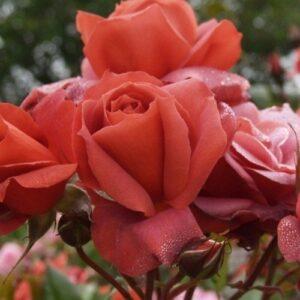 Rose - hybrid tea Kiwi (standard)