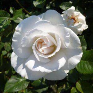 Rose floribunda Margaret Merril (standard)