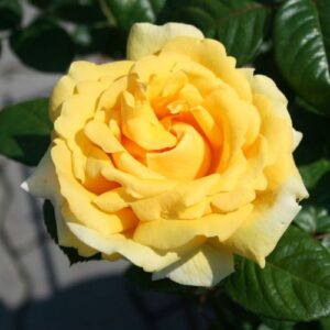 Bush Rose - floribunda 'Michelangelo'