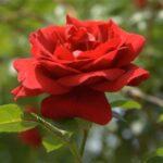 Rose Pj 500