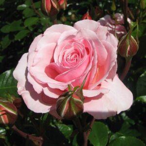 Rose floribunda Sexy Rexy (standard)