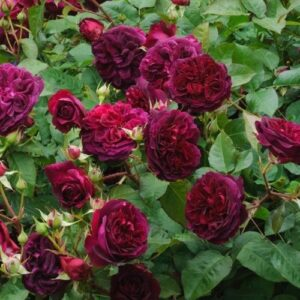 Austin English 'William Shakespeare 2000' Bush Rose