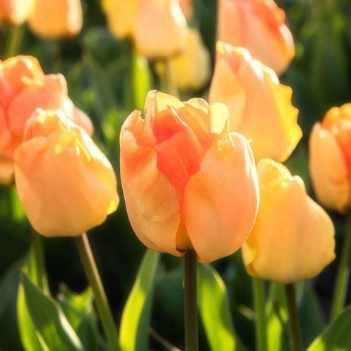 Tulip Darwin Hybrid Daydream Greenleaf Nurseries