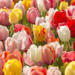 Tulip Darwin Hybrid Mix 500