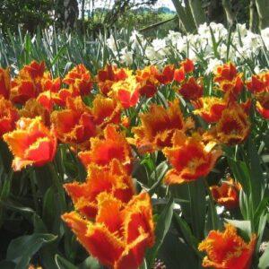 Tulip - Fabio (Darwin hybrid)