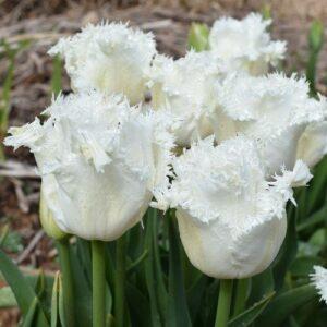 Tulip - Honeymoon (Darwin hybrid)