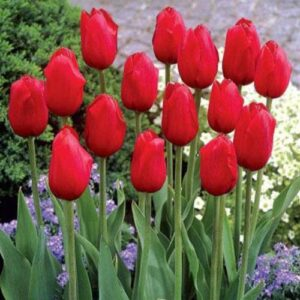 Tulip - London (Darwin hybrid)
