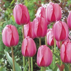 Tulip - Pink Impression (Darwin hybrid)