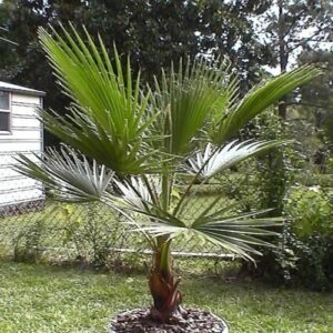 Washingtonia robusta - pb6.5 (55/65)