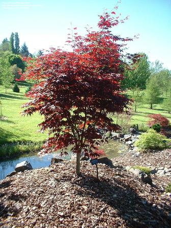 Acer Palmatum Red Emperor Japanese Maple Pb18 Greenleaf Nurseries