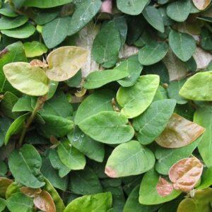 Ficus pumila 'Minima' (15/20)