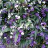 Hardenbergia violacea - PB6.5 (80/90)