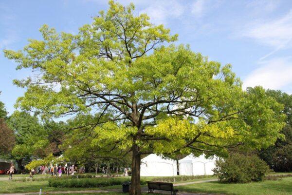 Quercus Coccinea – PB60
