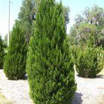 Juniperus chinensis Spartan (260/300)