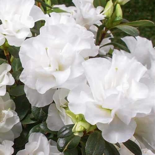 Azalea Brides Bouquet 500