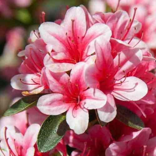 Azalea Cherry Blossom 501