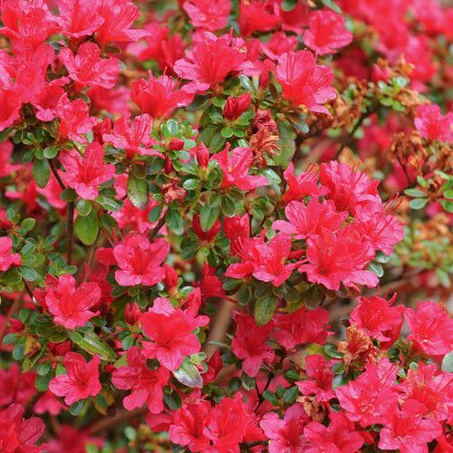 Azalea Hino Crimson 1 25ltr Greenleaf Nurseries