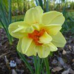 Daffodil Double Fashion 500